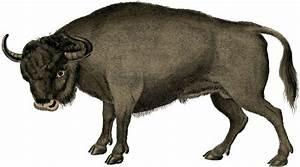 Vintage Bull Image