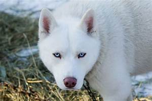 Everything You Need to Know About The White Husky   CertaPet