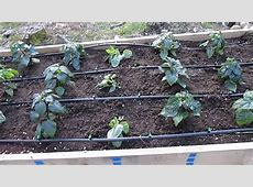 Raised Beds w Drip Irrigation Peppers Super Hots and