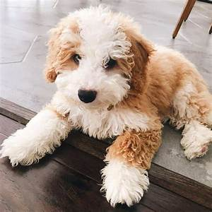 Meet The Mini Bernedoodle And Its Polar Opposite Parents Animalso