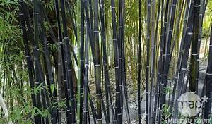 Bambou Noir Prix : maladie bambou noir pivoine etc ~ Teatrodelosmanantiales.com Idées de Décoration