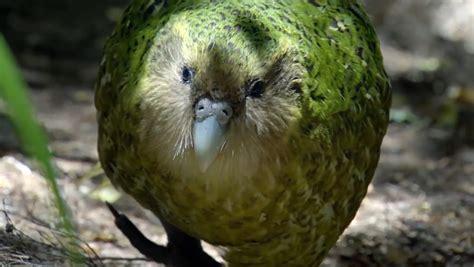 Zbulohet papagalli gjigand - Tv Klan