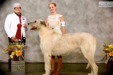 Champion Irish Wolfhound Puppy For Sale Near Tulsa Oklahoma Bdf Baa