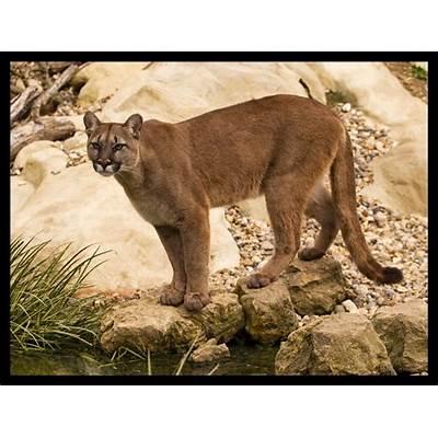 Puma - American Cougar Concolor a photo on Flickriver