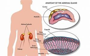 What Hormones Are Released From The Adrenal Glands