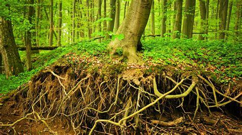 How Far Do Tree Roots Grow Down €� Arbor Day Blog