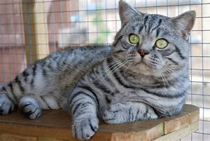 British Shorthair 'Breeders of Silver Tabby, We have ...