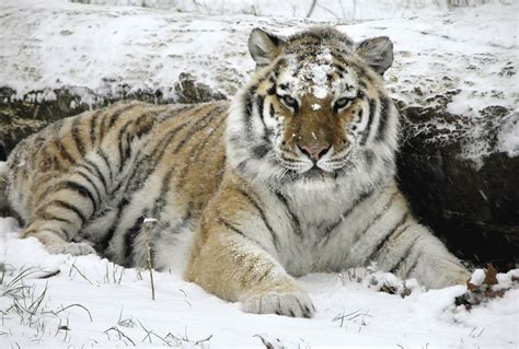 Big Cats Images Tiger Hd Wallpaper And Background Photos