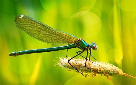 dragonfly hd wallpapers  desktop