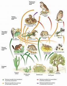 Desert Food Web | Desert - Gardner APES | Pinterest | Food ...