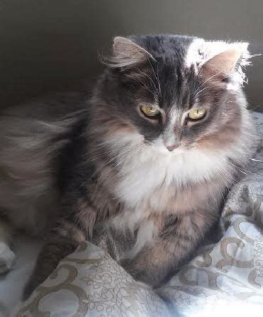 Norwegian Forest Cat Maine Coon Mix
