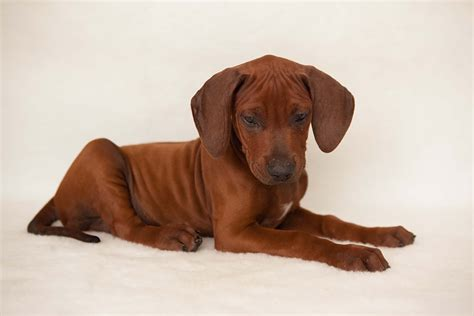 ridgeback puppy available introducing mr grey