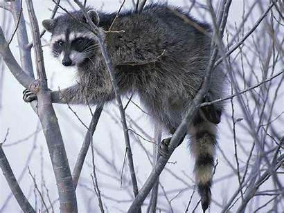 Spirit Raccoon Animal Animals February Looking