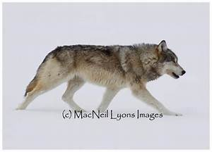 Real Wolf Head Profile | www.imgkid.com - The Image Kid ...