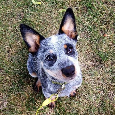 Do Blue Heelers Shed by 17 Best Ideas About Blue Heelers On Blue