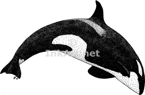 killer whale stock art illustration