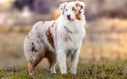 Australian Shepherd Aussie Wallpapers Dog Meadow Shepherds
