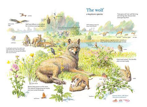 keystone species wolf rewilding europe jeroen ark helmer carnivores nature