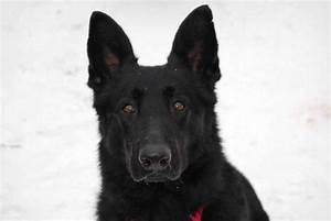 Black German Shepherd | German Shepherds | Pinterest