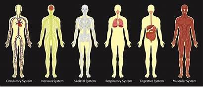 Human Systems Diagram Vector System Illustration Clip