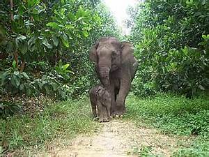 Asian elephants   WWF