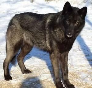 black wolves wallpaper - Google Search   wolves ...