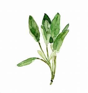 Sage leaves , original watercolor painting, herb ...