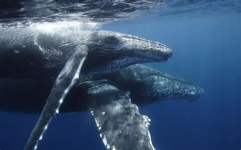 Best Hd Whale Photo by Humpback Whale Free Hd Wallpapers Images Backgrounds