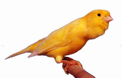 Arsip Roller Canary