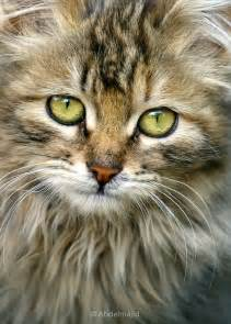Maine Coon Cats Live
