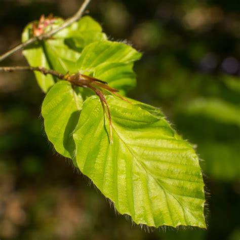 common beech fagus sylvatica  identification