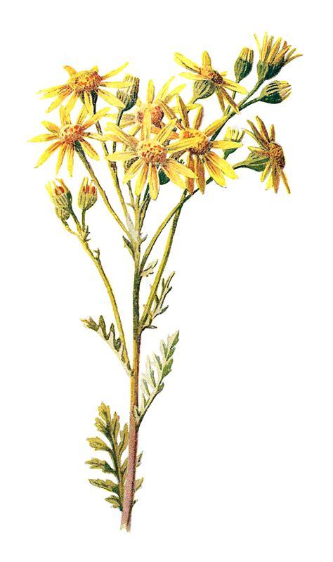 antique images digital stock wildflower image flower
