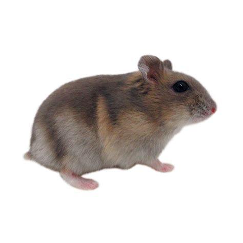 Dwarf Djungarian Hamsters For Sale