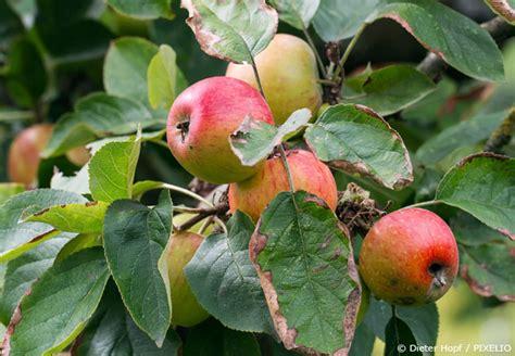 wann pflanzt obstbäume wann schneidet pfingstrosen pfingstrosen schneiden