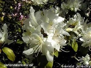 Wann Blüht Der Rhododendron : reizender rhododendron rhododendron concinnum syn r yanthinum schneiden pflege pflanzen ~ Eleganceandgraceweddings.com Haus und Dekorationen