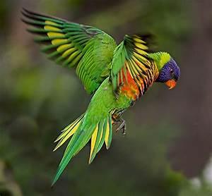 Rainbow Lorikeet | Caught in flight ... #8 on Explore ...