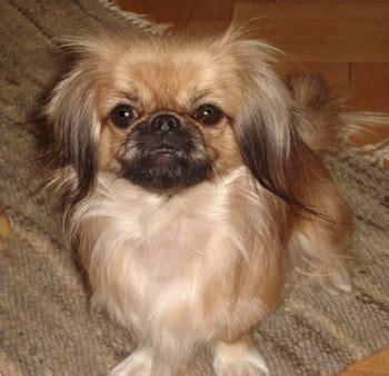 puppy predicts pekingese pat predicts   weekend