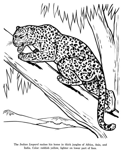 animal drawings coloring pages indian leopard animal