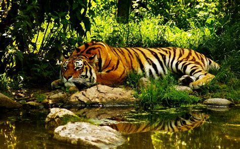 colors  nature tiger hd wallpapers hd wallpapers