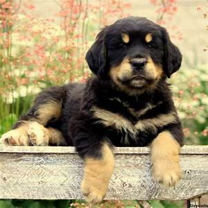 Bernese Golden Mountain Dog Puppies for Sale | Greenfield ...