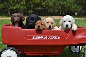 Winter Valley Labs (MLK) – Labrador Retriever Puppies For ...
