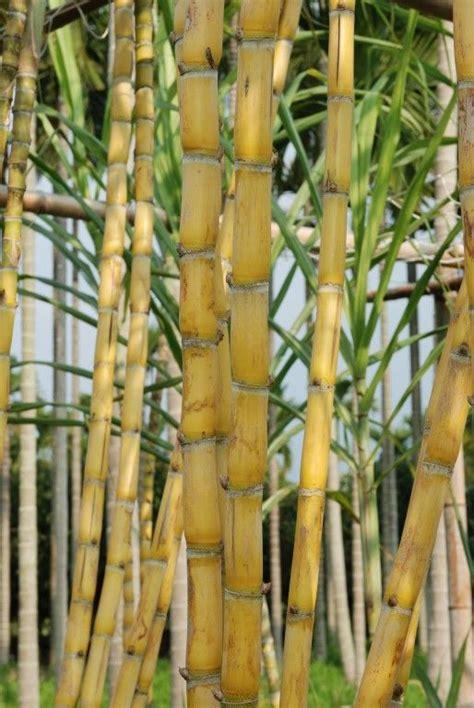 saccharum officinarum  google crafts