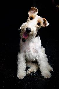 3373 best images about Wire Fox Terrier on Pinterest ...