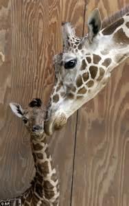 newborn baby giraffe unveiled  san francisco zoo daily