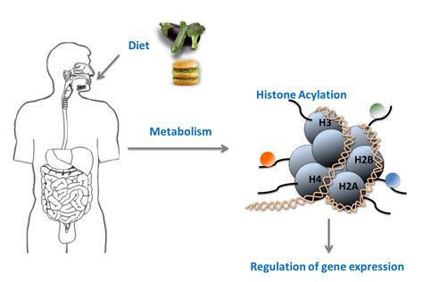 Modification Histone by Novel Histone Modifications Metabolism To Gene Activity