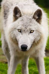 White Wolf with Yellow Eyes