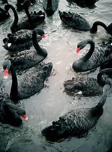 Bird black swan | Midnight | Pinterest