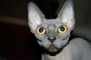 sphynx cats sphynx cat pictures and info