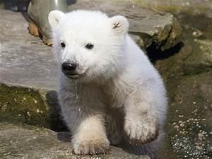 Baby polar bear wallpapers |Funny Animal