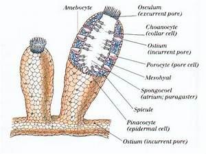 Yellow Tube Sponge  Aplysina Archer